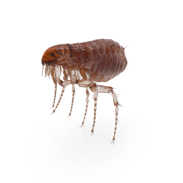 Flea Insect PNG & PSD Images