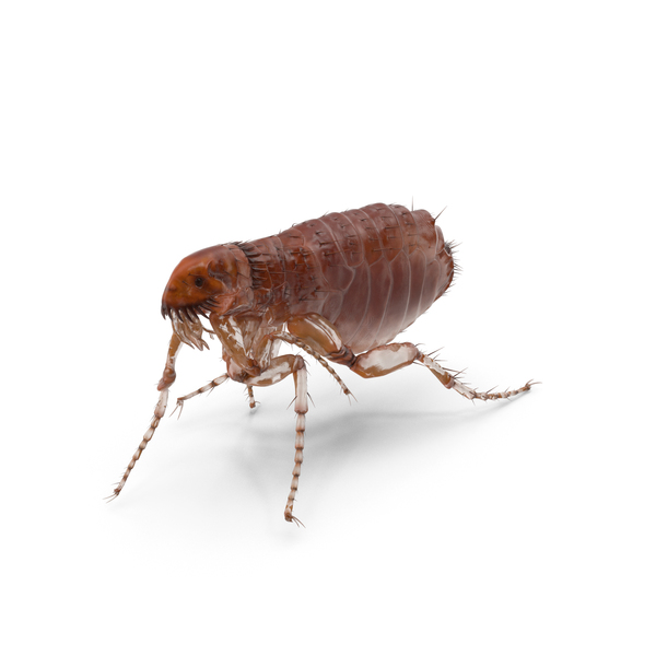 Flea Walking Pose PNG & PSD Images