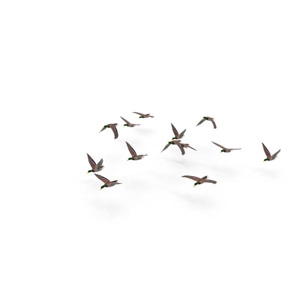 Duck: Flock of Ducks PNG & PSD Images