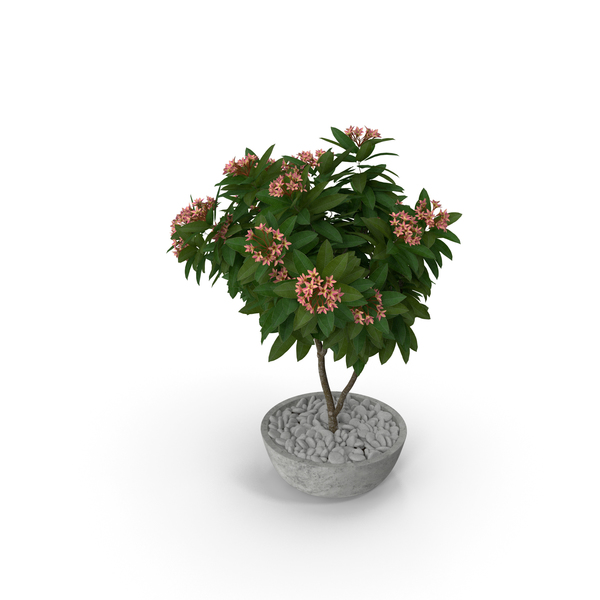 Flower Pot Plumeria Pink PNG & PSD Images