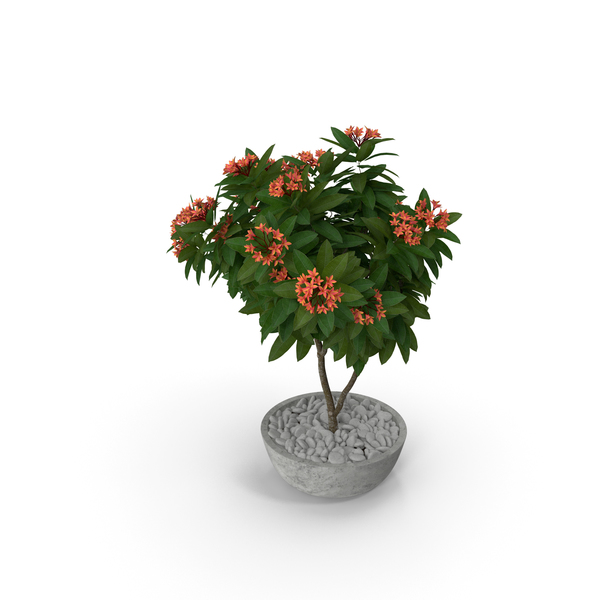 Flower Pot Plumeria Red PNG & PSD Images