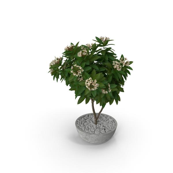 Obtusa: Flower Pot Plumeria White PNG & PSD Images
