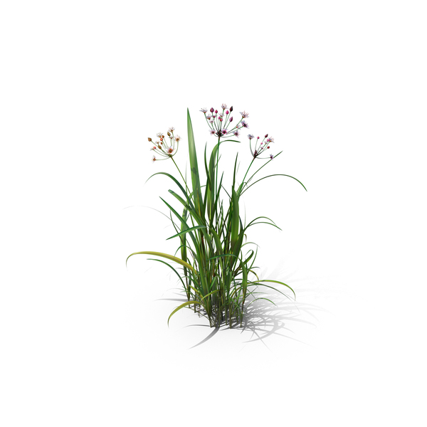 Flowering Rush PNG & PSD Images