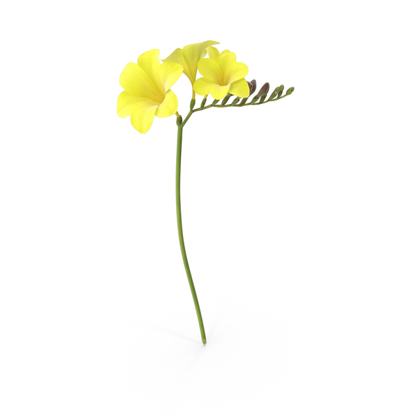 Freesia PNG & PSD Images