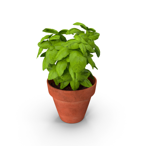 Fresh Basil Herb in a Pot PNG & PSD Images