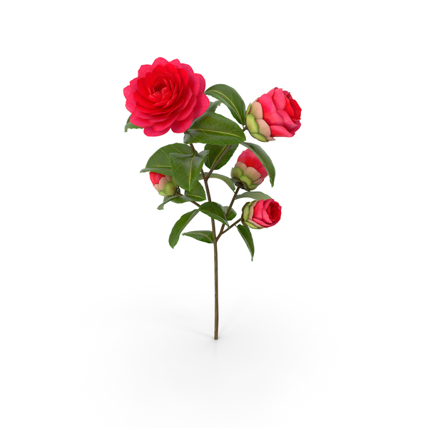 Garden Flower Camellia Red PNG & PSD Images