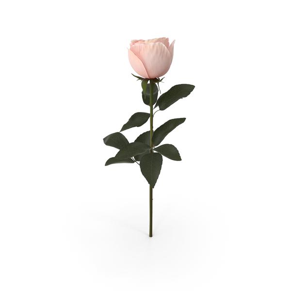 Garden Rose PNG & PSD Images