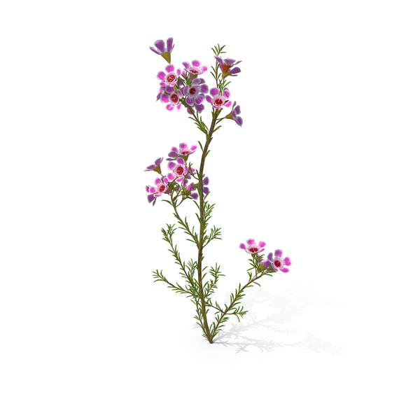 Geraldton Waxflower PNG & PSD Images