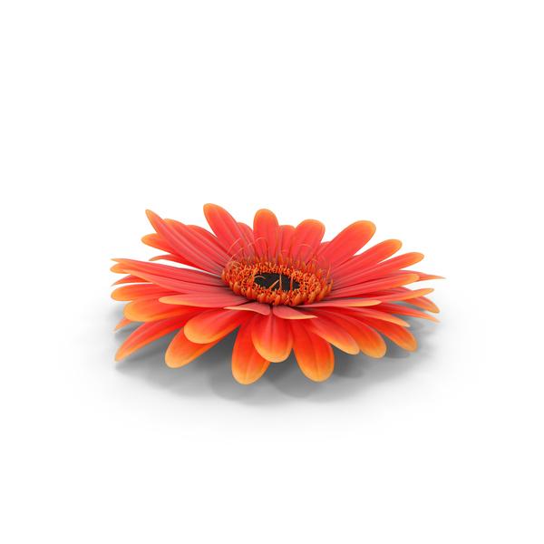 Gerber Daisy: Gerbera Flower PNG & PSD Images