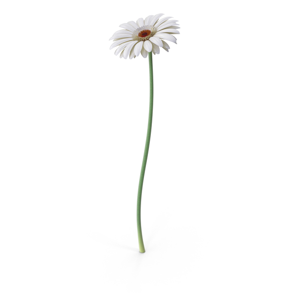 Gerbera White PNG & PSD Images