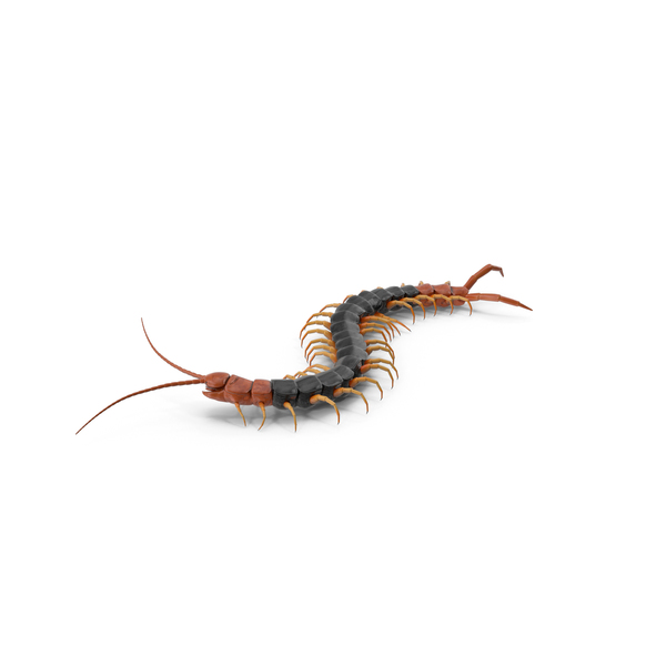 Giant Desert Centipede Scolopendra Heros Crawling PNG & PSD Images