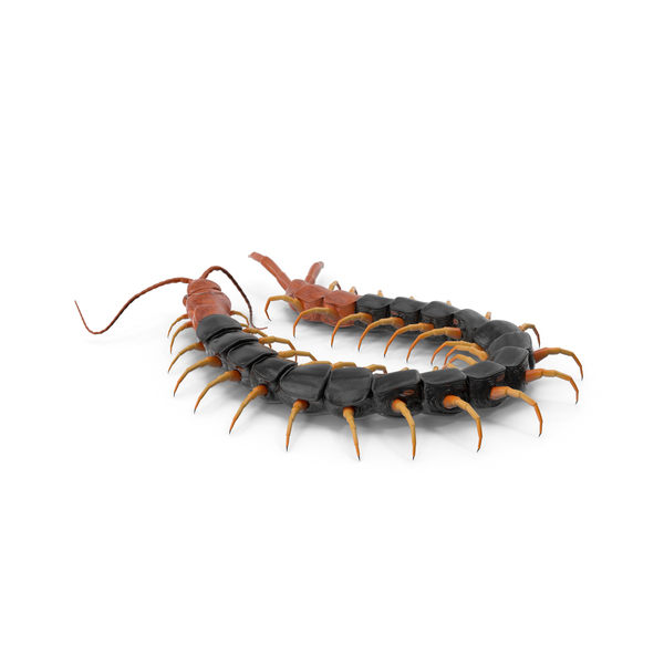 Giant Desert Centipede Scolopendra Heros PNG & PSD Images