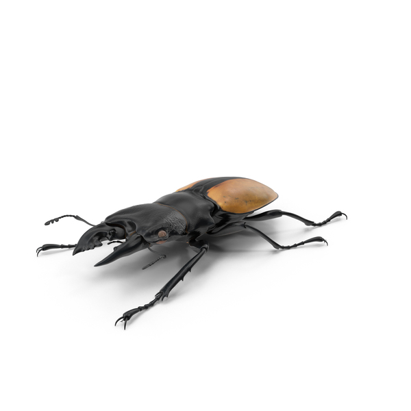 Giant Stag Beetle Odontolabis Ludekingi PNG & PSD Images