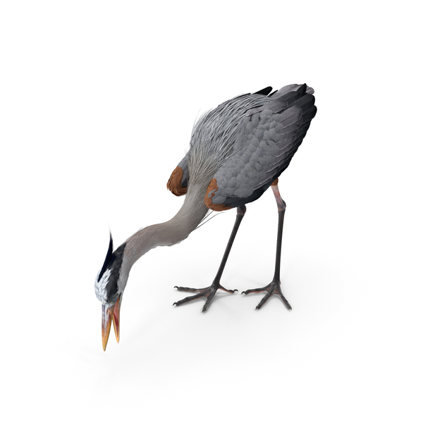 Great Blue Heron Standing Pose PNG & PSD Images