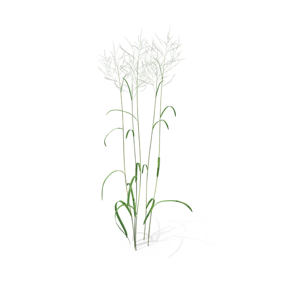 Great Manna Grass PNG & PSD Images