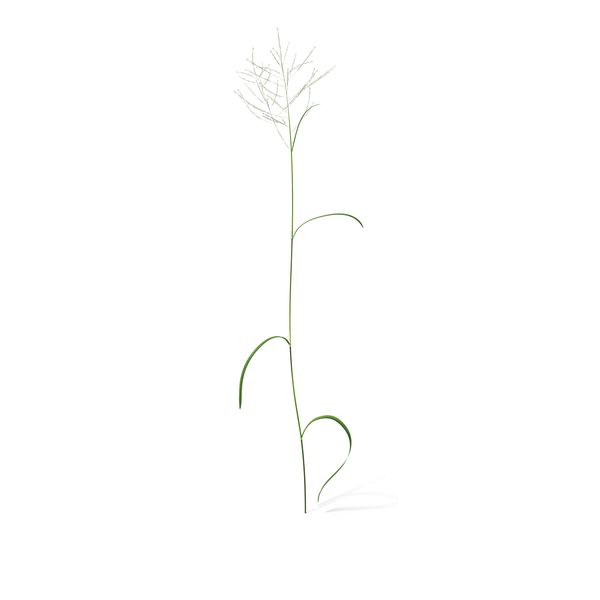 Grasses: Great Manna Grass PNG & PSD Images