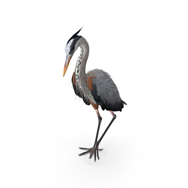 Grey Heron Standing on One Leg PNG & PSD Images