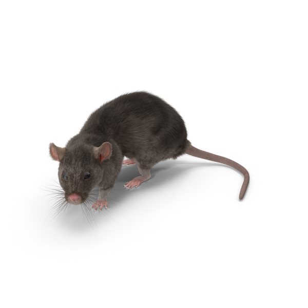 Grey Rat Object