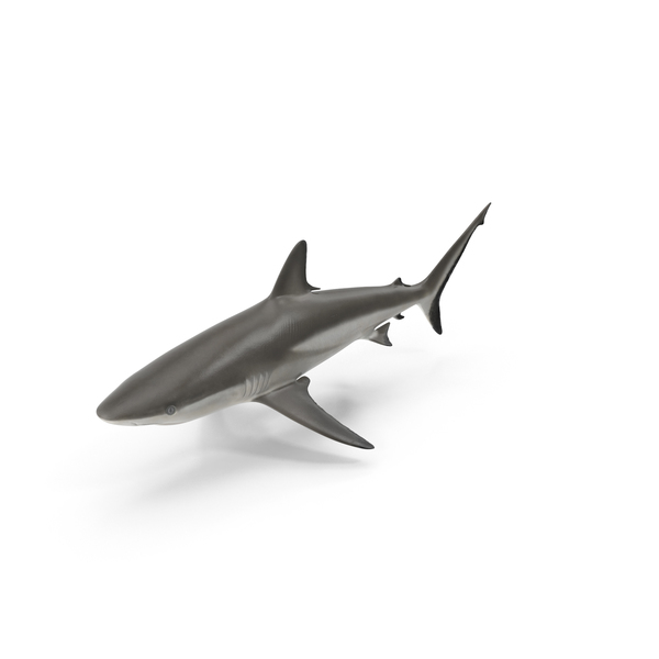 Grey Reef Shark Object