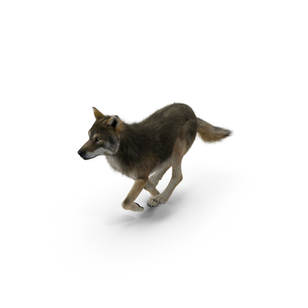 Grey Wolf PNG & PSD Images