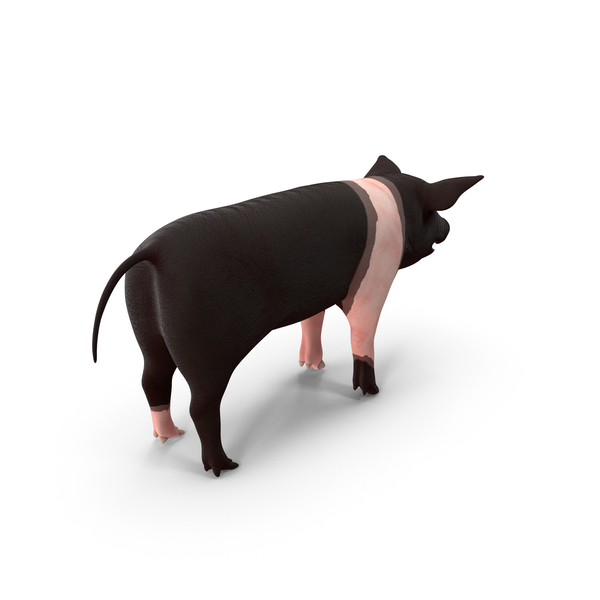 Hampshire Pig Piglet PNG & PSD Images