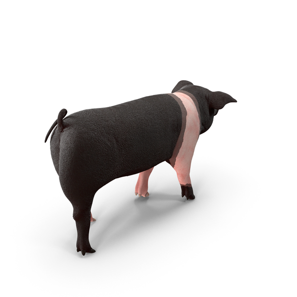 Hampshire Pig Piglet Walking Pose PNG & PSD Images