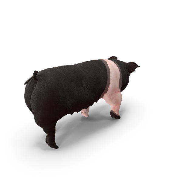 Hampshire Pig Sow Walking Pose PNG & PSD Images