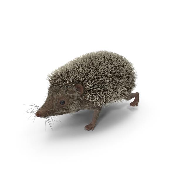 Hedgehog PNG & PSD Images