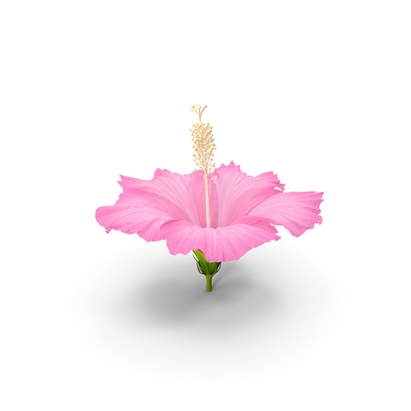Hibiscus Flower Pink PNG & PSD Images