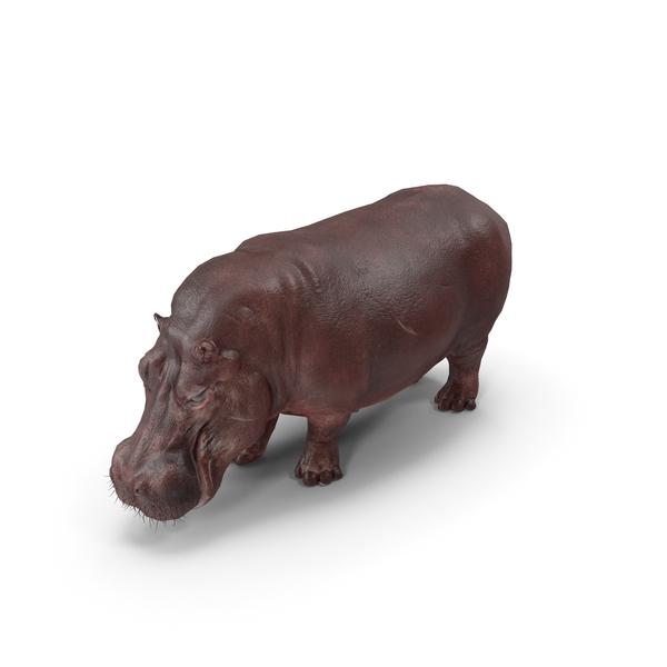 Hippopotamus Pose PNG & PSD Images