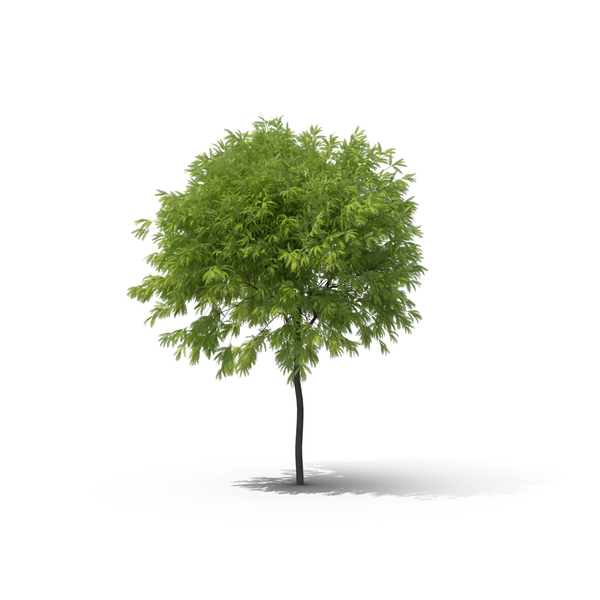 Honey Locust Tree PNG & PSD Images