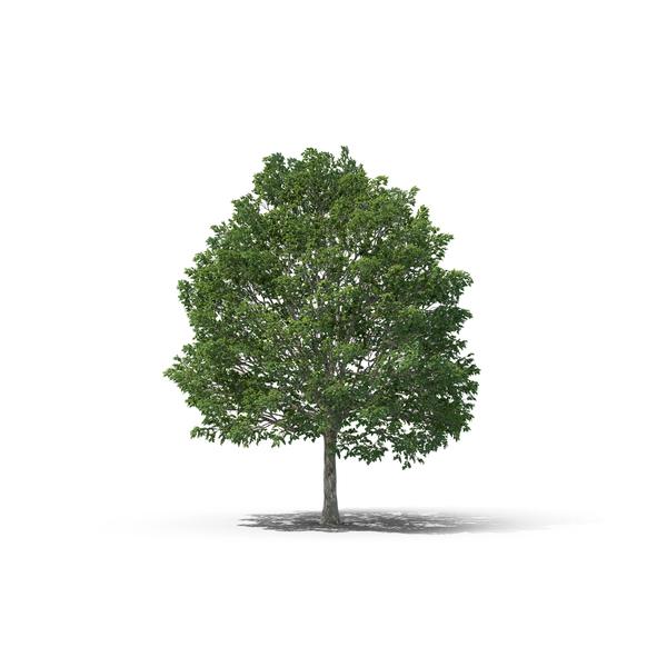 Deciduous Tree: Hornbeam PNG & PSD Images