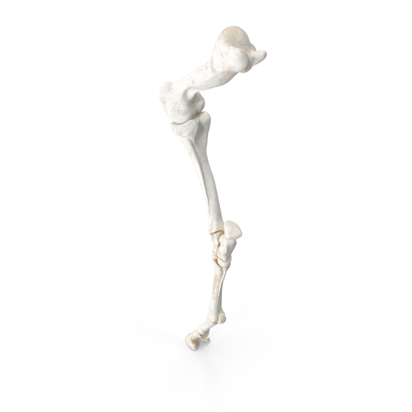 Animal Skeleton: Horse Front Leg Bones PNG & PSD Images