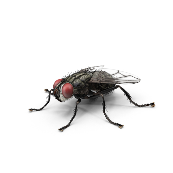 House Fly PNG & PSD Images