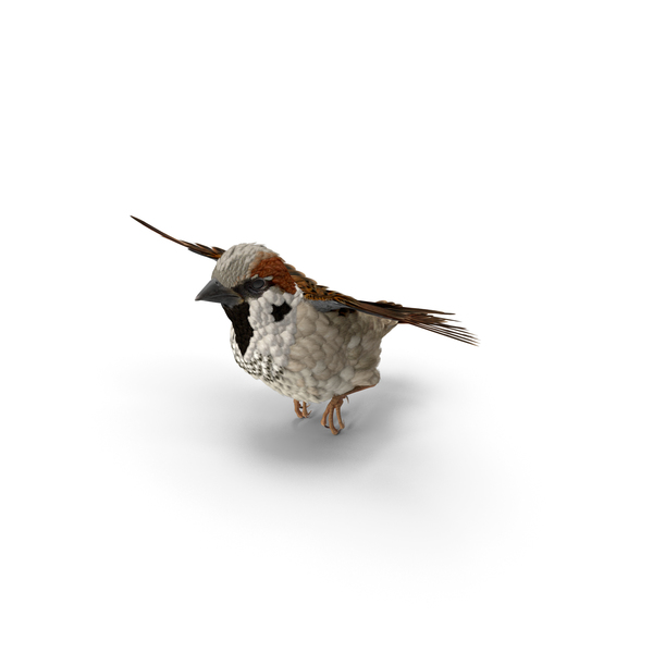 House Sparrow Flying Pose PNG & PSD Images