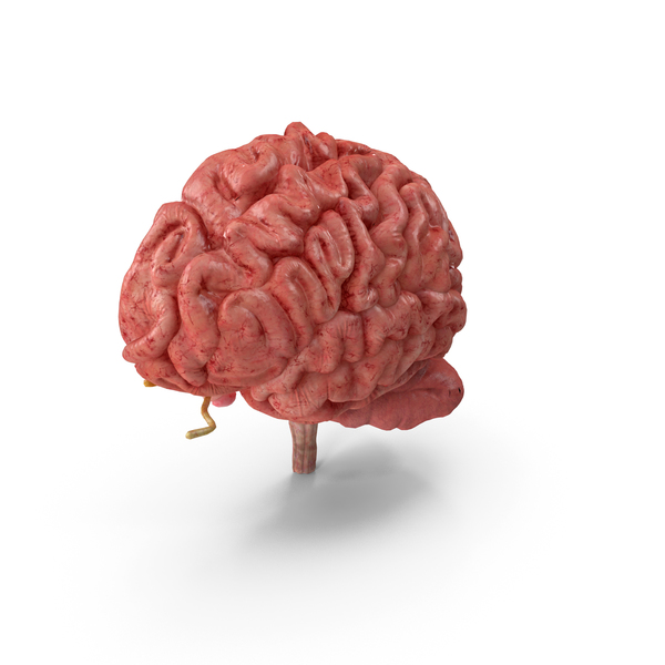 Human Brain Anatomy Section PNG & PSD Images