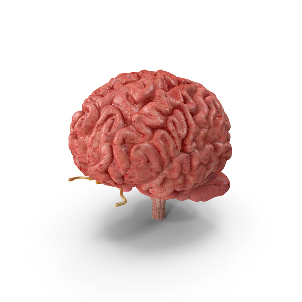 Human Brain Full Anatomy PNG & PSD Images