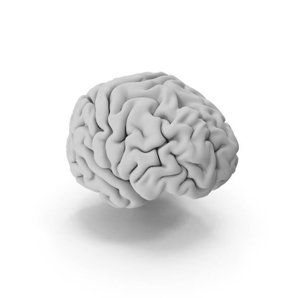 Stem: Human Brain PNG & PSD Images