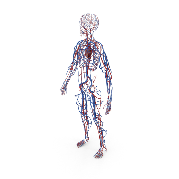 Human Cardiovascular System Full Body PNG & PSD Images