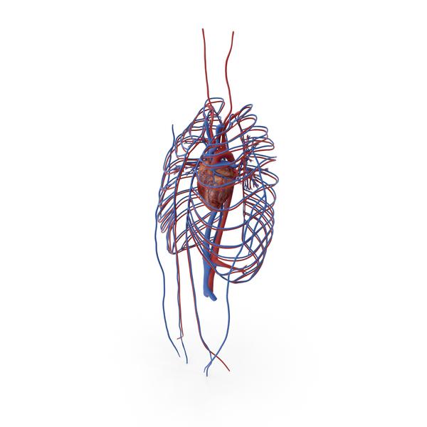 Human Cardiovascular System PNG & PSD Images