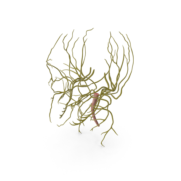 Human Head Nervous System PNG & PSD Images