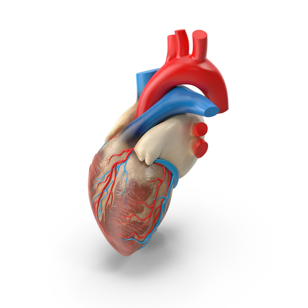 Human Heart PNG Images & PSDs for Download | PixelSquid - S10605959F