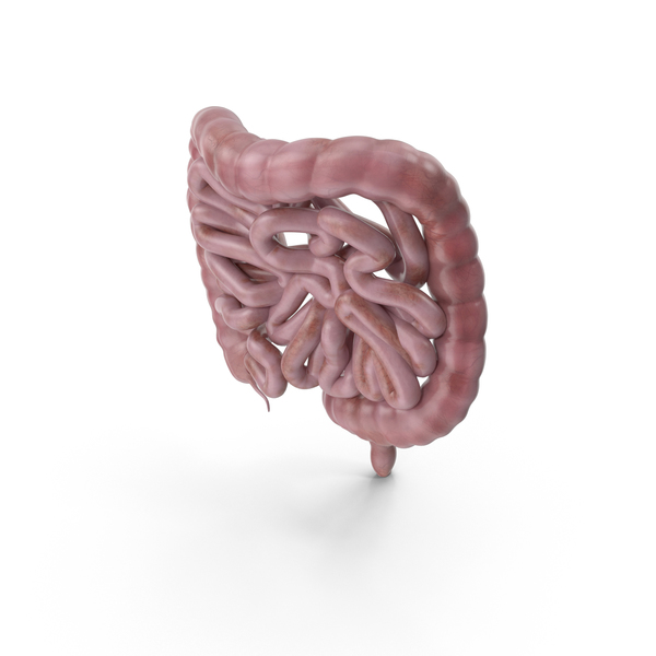 Human Intestines PNG & PSD Images