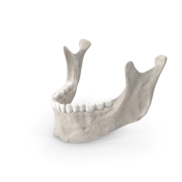 Human Jawbone ( Mandible ) With Teeth White PNG & PSD Images
