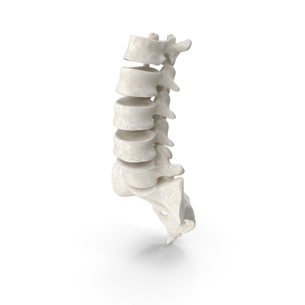 Human Lumbar and Sacrum Vertebrae L1 to S5 Bones White PNG & PSD Images