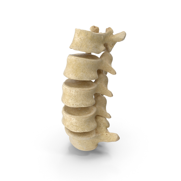 Human Lumbar Vertebrae L1 to L5 Bones PNG & PSD Images