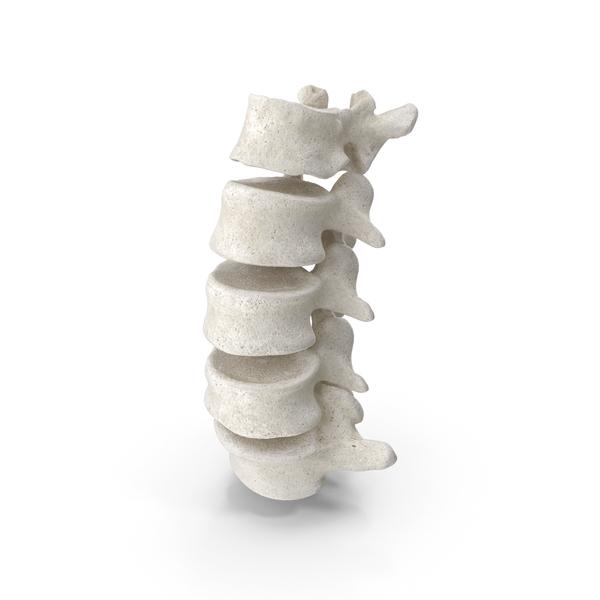 Human Lumbar Vertebrae L1 to L5 PNG & PSD Images