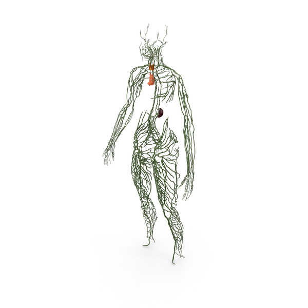 Human Lymphatic System Full Body PNG & PSD Images
