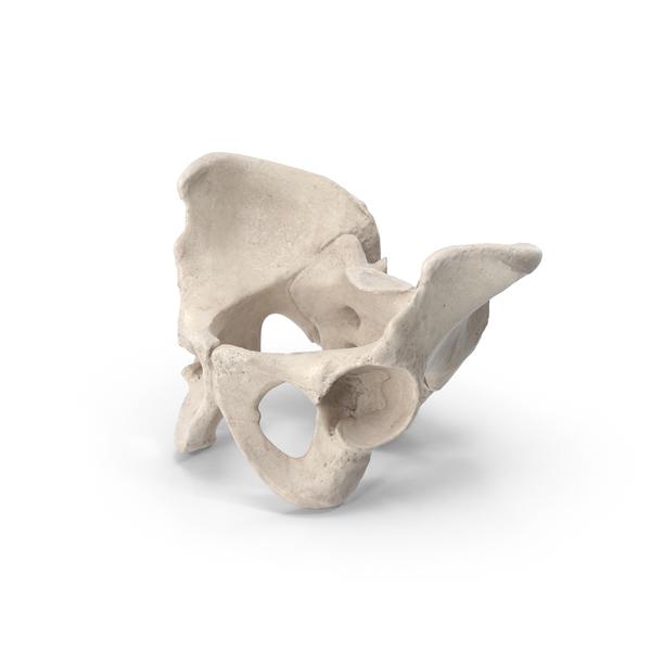 Human Male Pelvic Bones PNG & PSD Images