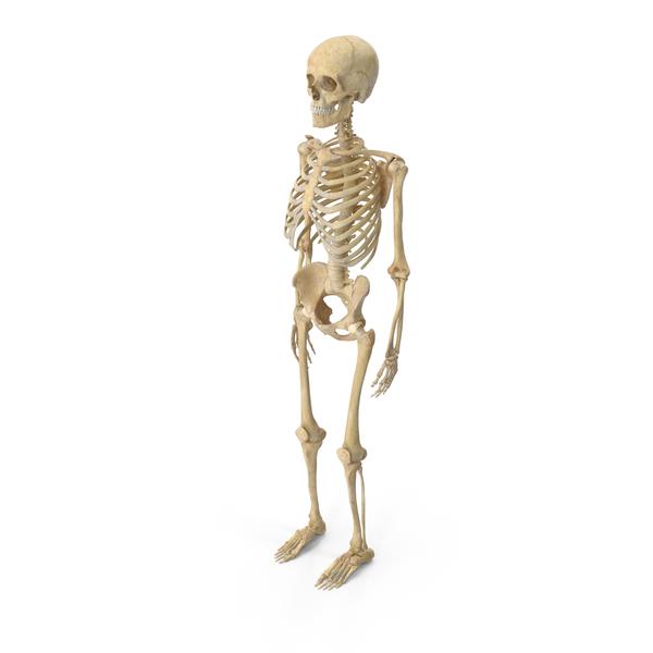 Human Male Skeleton Bones Anatomy With Intervertebral Disks PNG & PSD Images